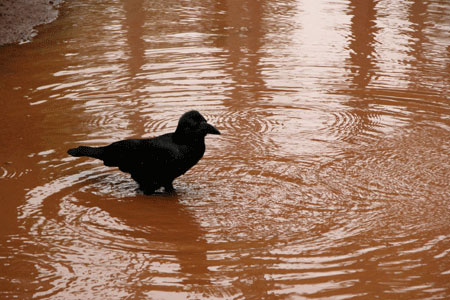 Crow bathing in mud