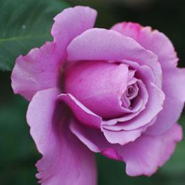 Rose10-8-10-7875