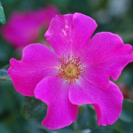 Rose11-8-10-7752