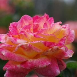 Rose12-8-10-7936