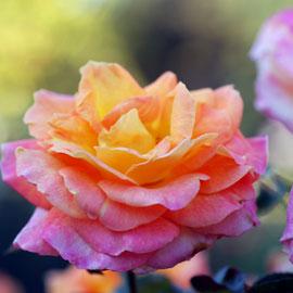Rose13-8-10-7813