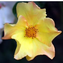 Rose14-8-10-7894
