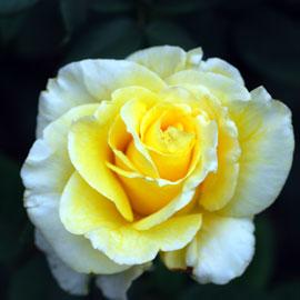 Rose15-8-10-7891