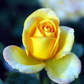 Rose16-8-10-7853