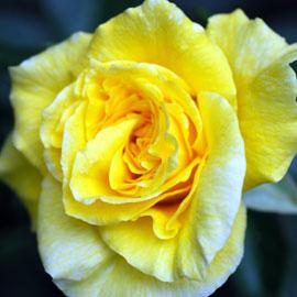 Rose17-8-10-7906