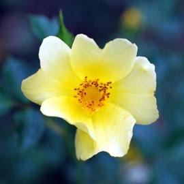Rose18-8-10-7941