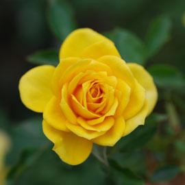 Rose19-8-10-7947