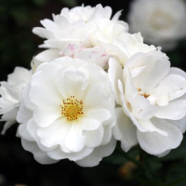 Pillowfight Rose 8-10-7871