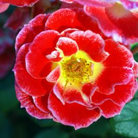 Rose21-8-10-7757