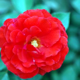 Rose23-8-10-7897