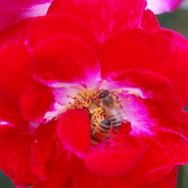 Rose27-8-10-7924