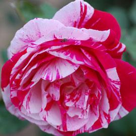 Rose28-8-10-7918