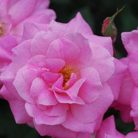 Rose5-8-10-7965