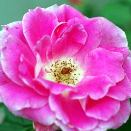 Rose6-8-10-7928