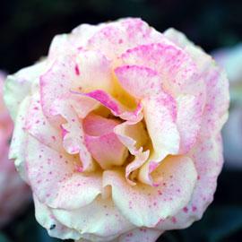 Day Breaker Rose 8-10-7815
