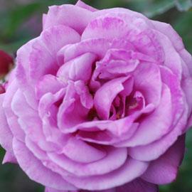 Rose9-8-10-7931