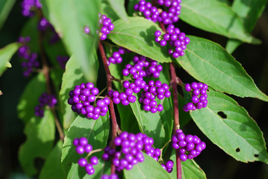 Japanese beautyberry